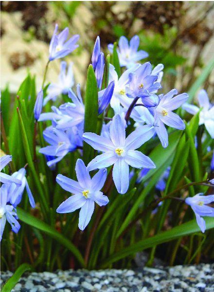 Chionodoxa forbesii Blue Giant - Copy