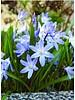 Schneeglanz  Blue Giant - chionodoxa forbesii blue giant - chemiefreier Anbau