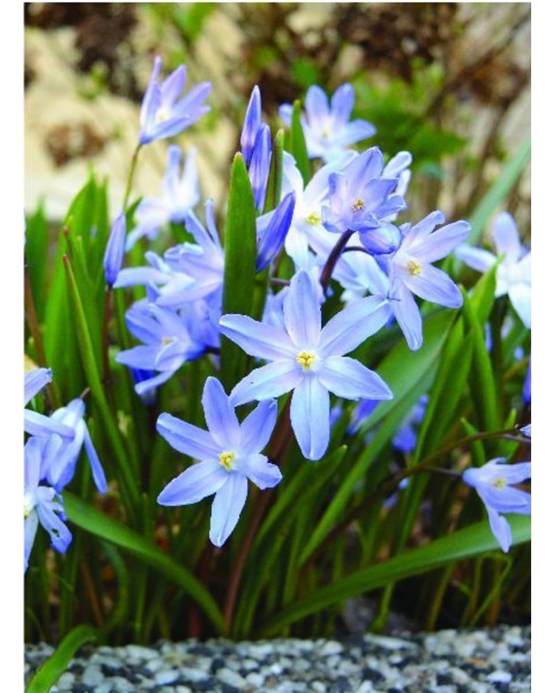 Schneglanz  Blue Giant - chionodoxa forbesii blue giant - ohne Chemie gezüchtet