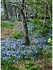 Sneeuwroem Blue Giant - chionodoxa forbesii blue giant - chemievrij geteeld