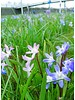 Glory of the snow - chionodoxa forbesii Blue Giant - chemical free grown