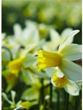 Narcissus Sailboat,  jonquilla
