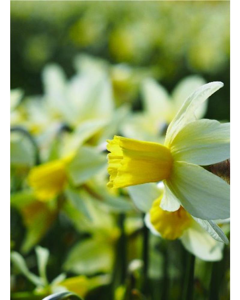 Daffodil Sailboat - chemical-free grown