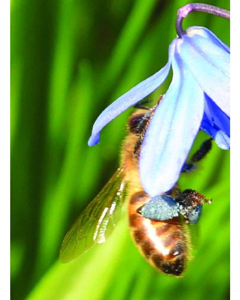Bienenpaket: fröhliche Frühlingsblüher mit viel Nektar und Pollen - Copy