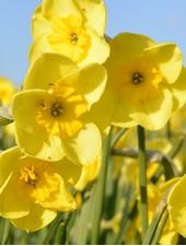 Narcissus Sundisc,  jonquilla