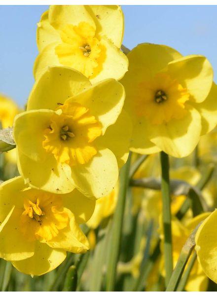 Narcis Sundisc,  jonquilla