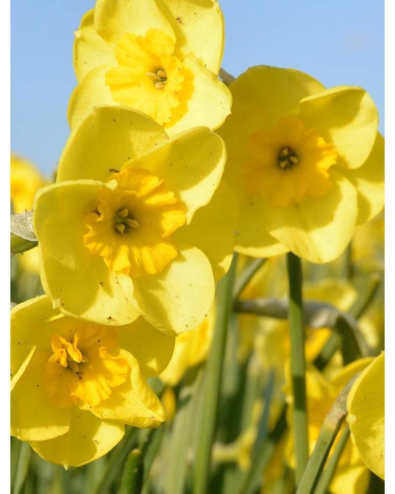 Narcis Sundisc,  jonquilla - chemievrij geteeld