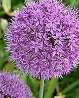 Allium grandiflorum Purple Sensation - Copy