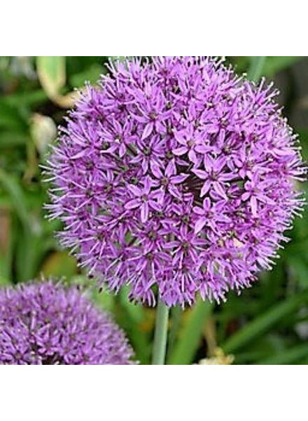 Allium grandiflorum Purple Sensation