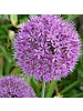 Ornamental onion - allium Purple Sensation - chemicalfree grown