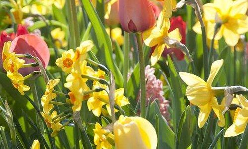 PAKKET -tulpen en narcis mix