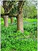 Blauwe hyacint - hyacinthoides hispanica - chemievrij geteeld