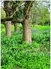 Bluebell - hyacinthoides hispanica  - chemical-free grown