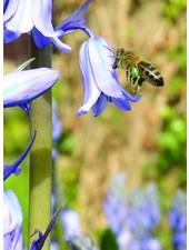 Hyacinthoides Hispanica Blue