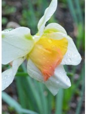 Narcissus Replete,  double