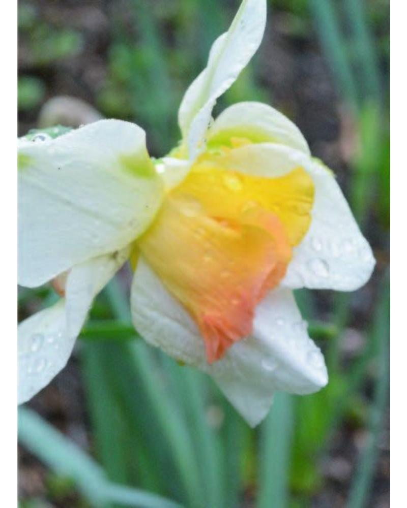 Daffodil Replete,  double - grown free of chemicals