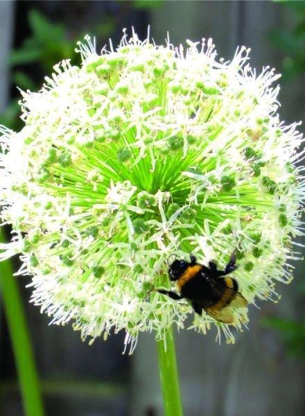 Allium grandifl. Mount Everest