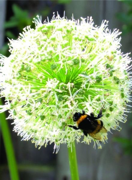 Allium grandiflorum Mount Everest