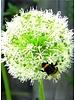 Ornamental onion - allium Mount Everest - chemicalfree grown