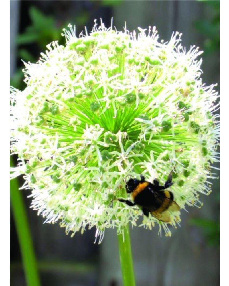 Ornamental onion - allium Mount Everest - grown free of chemicals