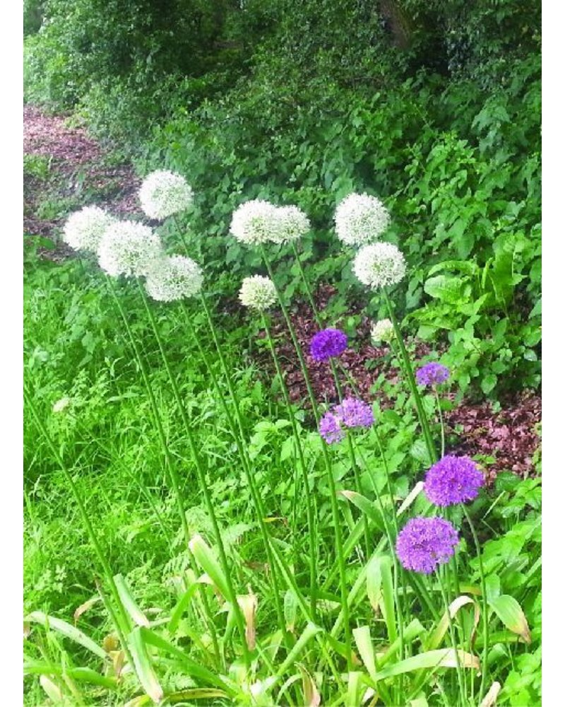 Ornamental onion - allium Mount Everest - chemical-free grown