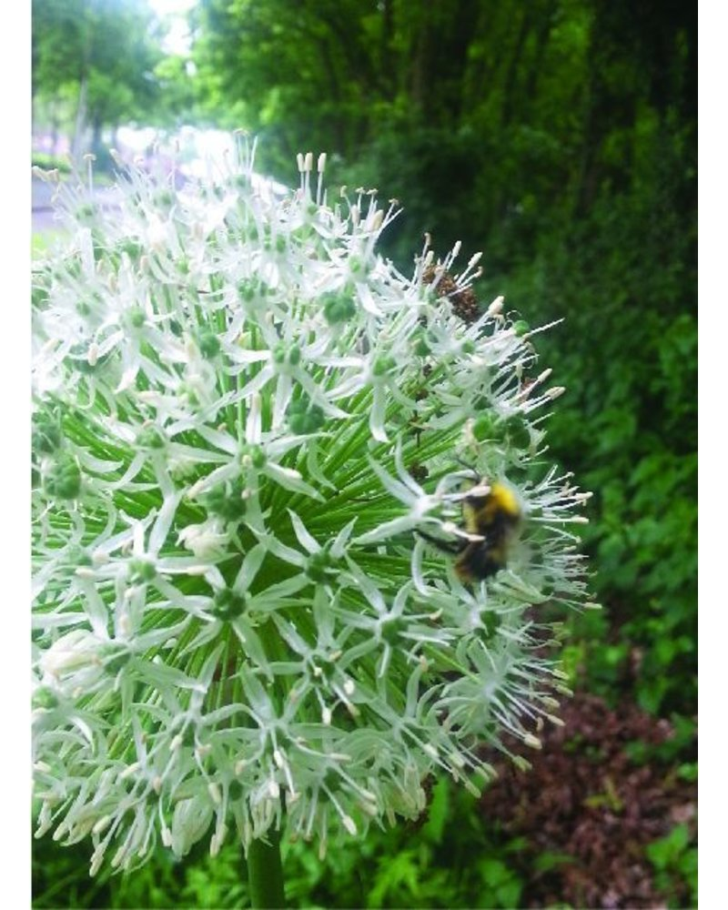 Ornamental onion - allium Mount Everest - grown free of chemicals