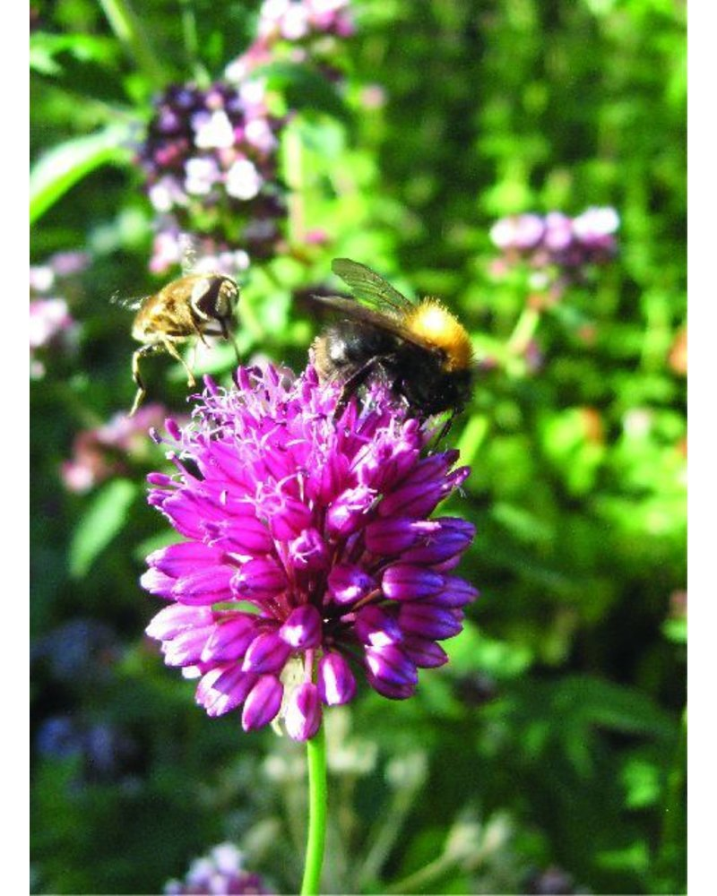 Kugellauch - Allium Sphaerocephalon - ohne Chemie gezüchtet