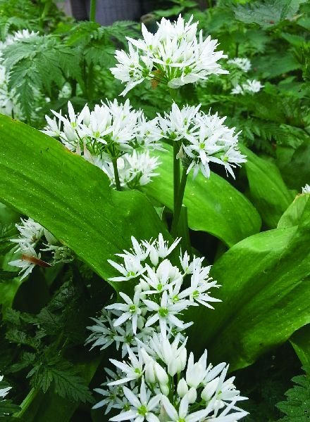 Allium Ursinum - Bärlauch