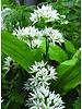 Wood garlic - allium ursinum - chemicalfree grown