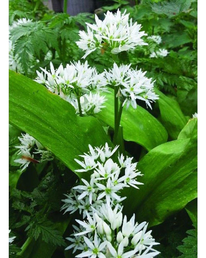 Wood garlic - allium ursinum - chemical-free grown
