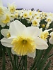 Daffodil Ice Follies - free of chemicals