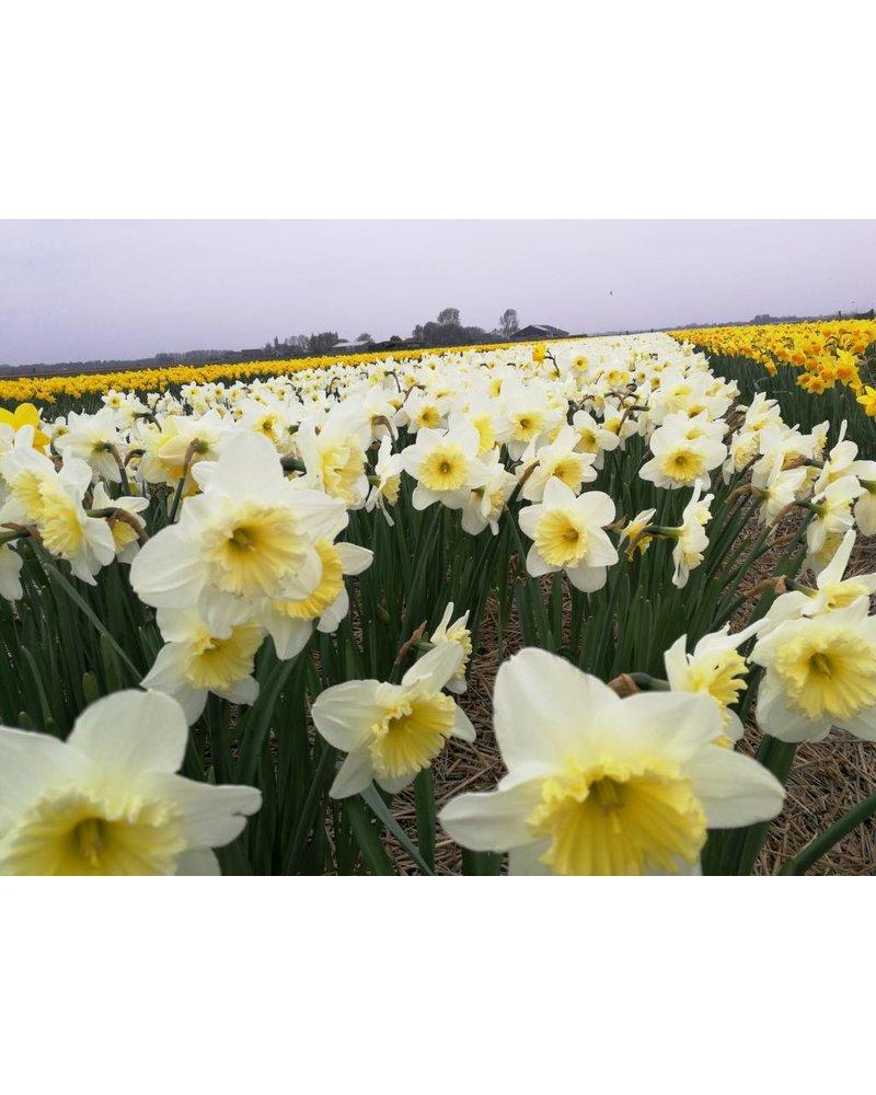 Daffodil Ice Follies - chemicalfree grown