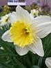 Narcissus Ice Follies - ohne Chemie gezüchtet