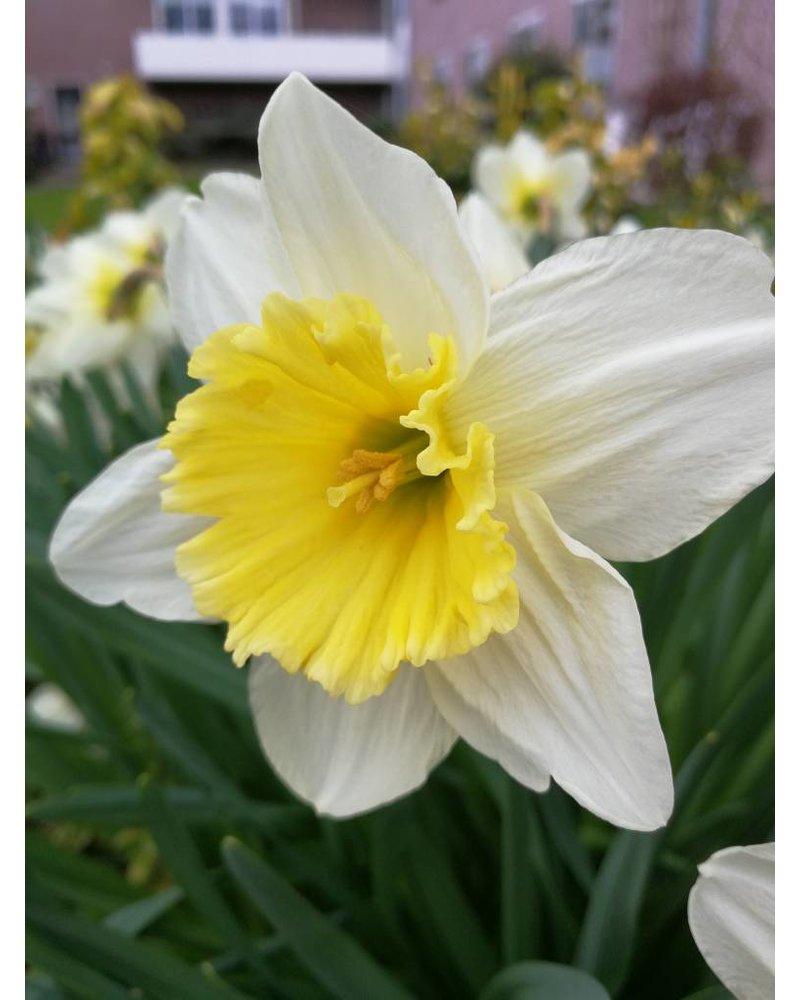 Narcis Ice Follies - ohne Chemie