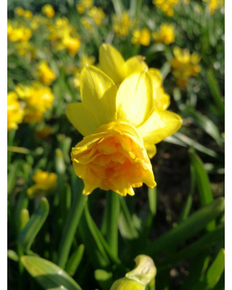 Narcis Tete Rosette, double