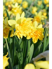 Narcis Tete Rosette, double