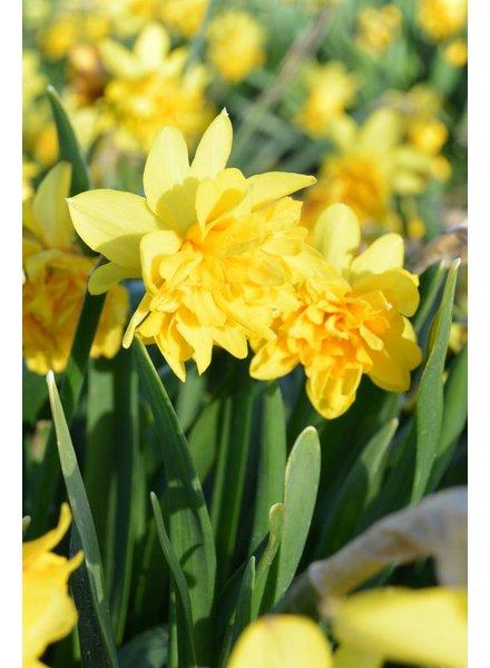 Narcissus Tete Rosette, double