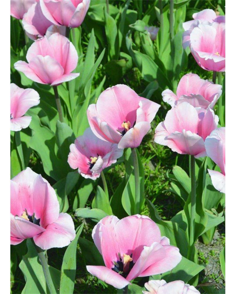 Tulipa Salmon Impression