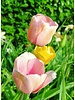 Tulip Salmon Impression, Darwin Hybrid - chemicalfree grown