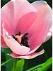 Tulip Salmon Impression, Darwin Hybrid - chemical-free grown