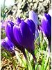 Krokus Flower Record - crocus vernus flower record - ohne Chemie gezüchtet