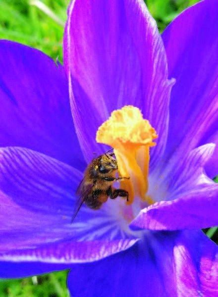 Crocus vernus Flower Record