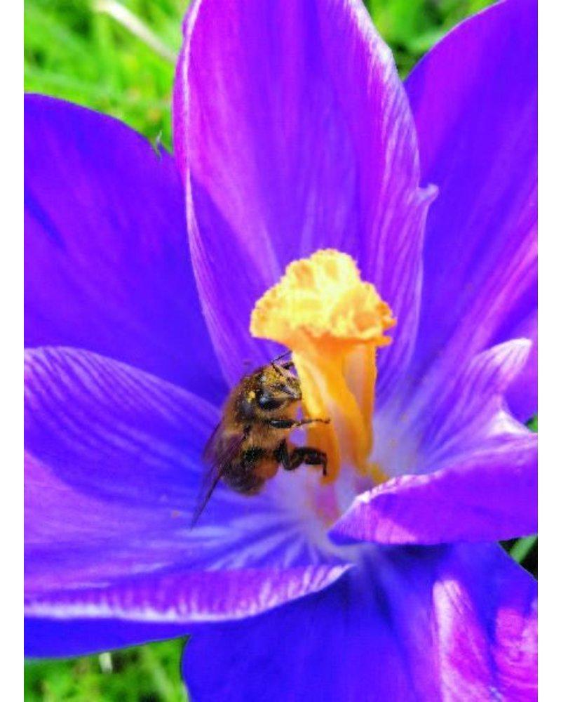 Grootbloemige krokus Flower Record - crocus vernus flower record - chemievrij geteeld
