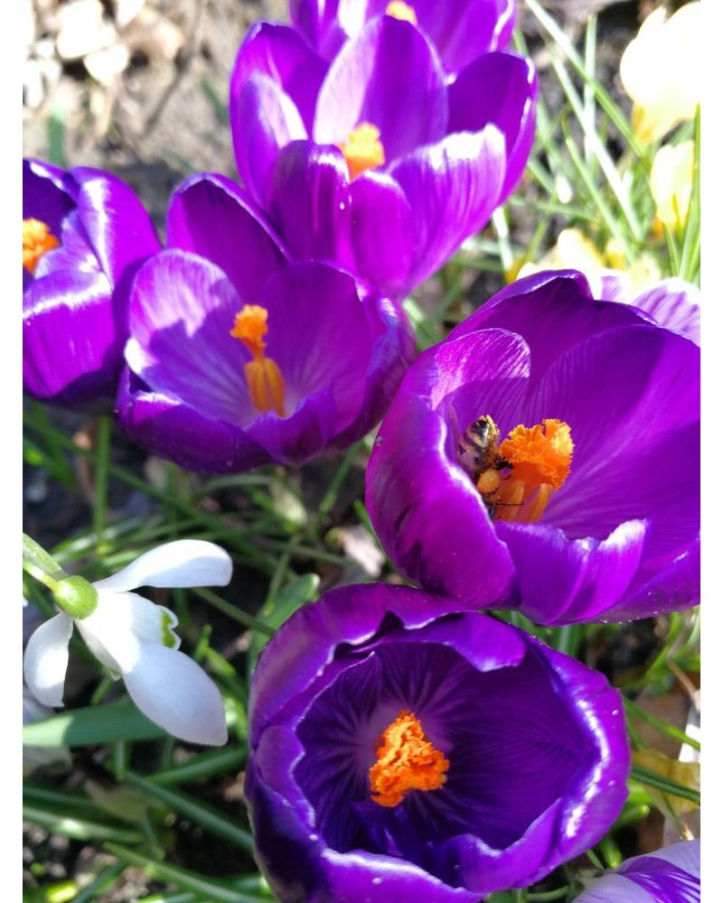 Crocus vernus Flower Record - grown without chemicals