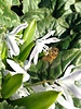 Witte Sterhyacint  - scilla mischtschenkoana - chemievrij geteeld