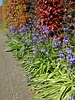 Atlantisches Hasenglöckchen - hyacintoides non scripta blau - ohne Chemie gezüchtet