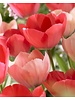 Ornamental tulip Salmon van Eijk, darwin hybrid - chemicalfree grown