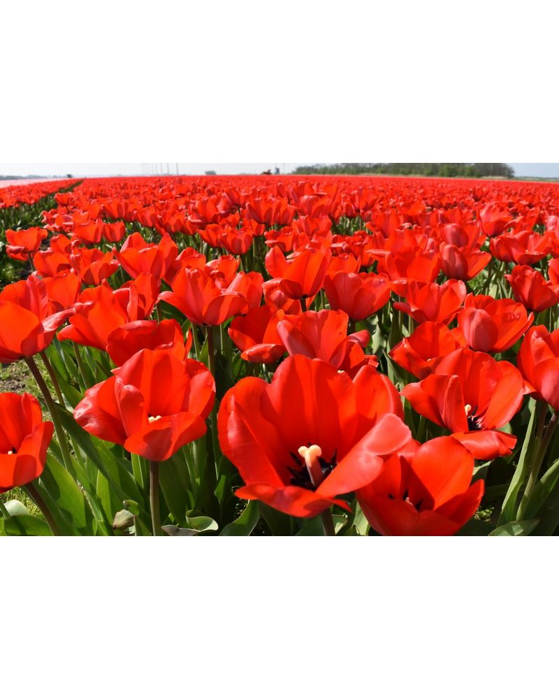 Tulip Red Impression - chemical-free grown