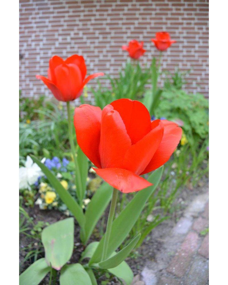 Siertulp Red Impression,  darwin hybrid - chemievrij geteeld