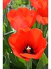 Ornamental Tulip Red Impression - chemicalfree grown